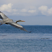 A Great Blue Heron glides along the shoreline in Edmonds, Washington