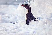Fiordland Crested Penguin, West Coast, New Zealand