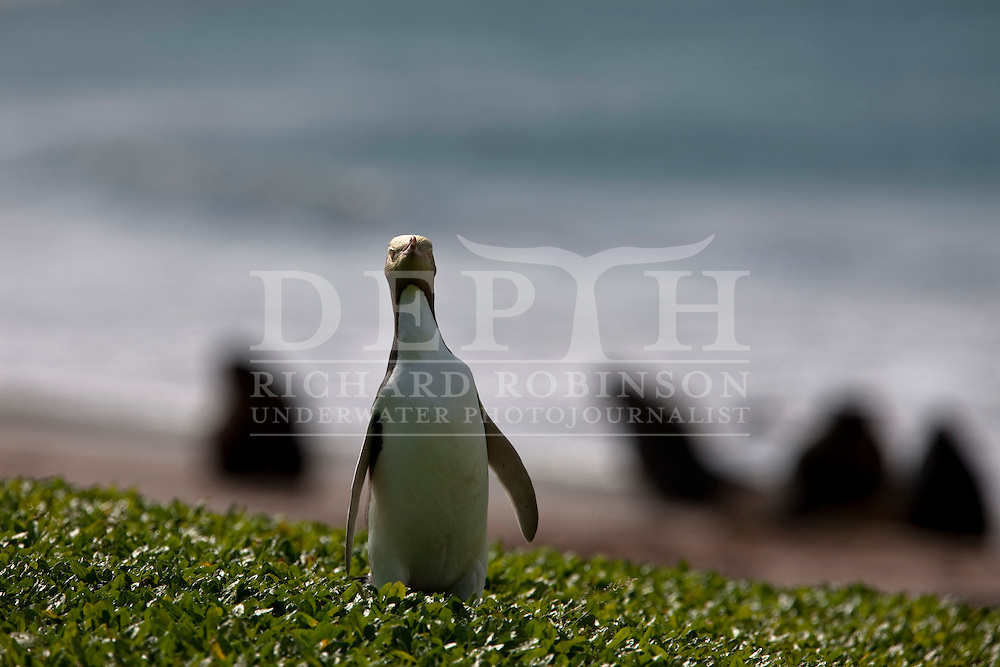 Yellow eyed penguin (Megadyptes antipodes) at  Sandy Bay, Enderby Island in the subantarctic Auckland Islands in the in the Southern Ocean..Sunday 09 January 2011..Photograph Richard Robinson © 2011.