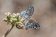 Euphilotes b. bernardino - Bernardino Blue