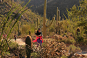 Runners and cyclists race on Bajada Loop Drive in Saguaro National Park West, Sonoran Desert, Tucson, Arizona, USA.