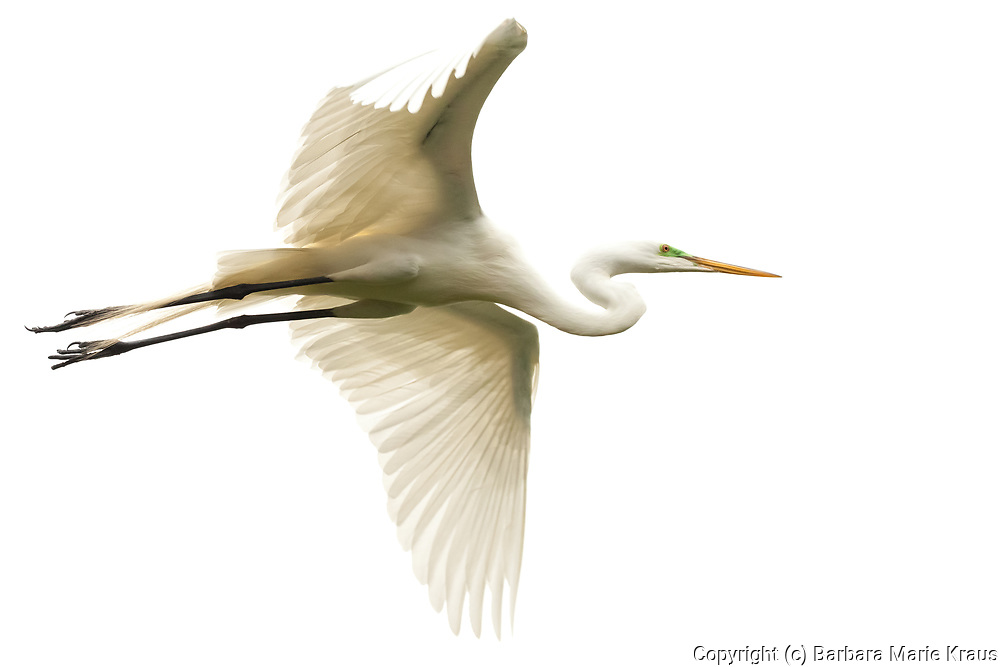 A Great Egret flying.