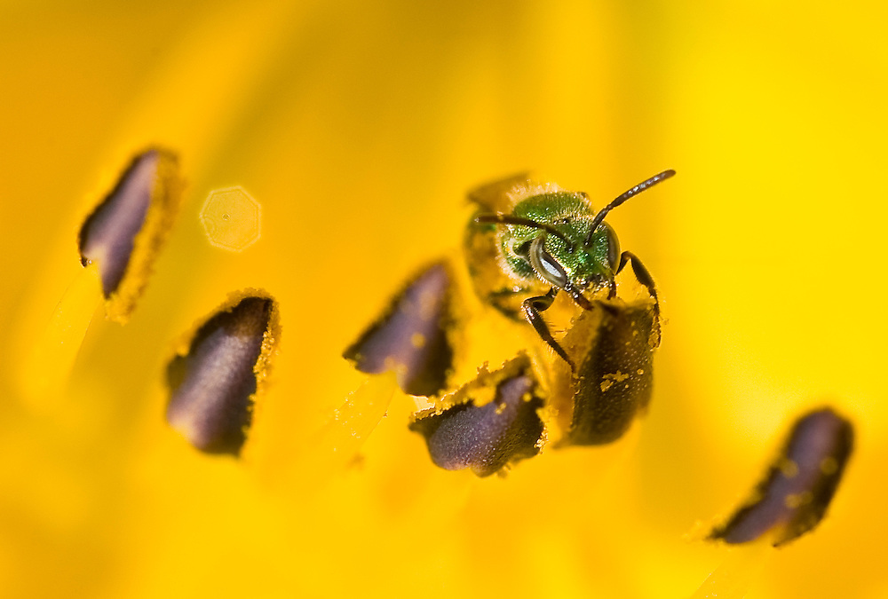 A bee's head protrudes from inside of flower petal.