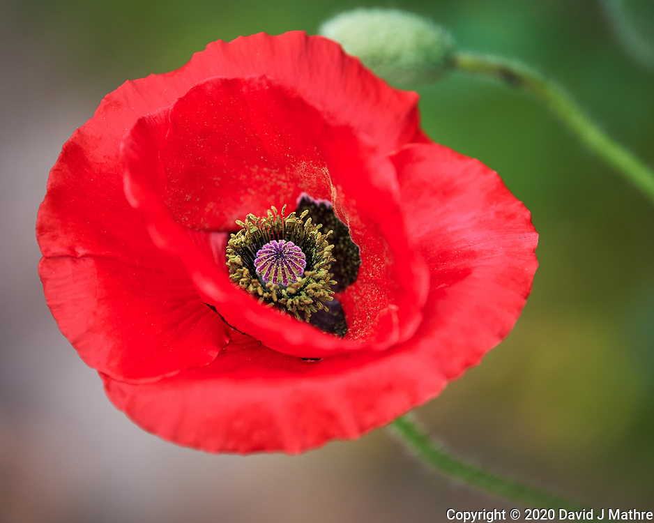 Red Poppy Image taken with a Nikon Df camera and 70-200 mm f/2.8 lens.