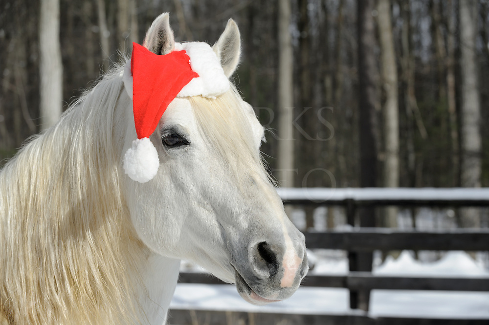 White horse wearing Santa Christmas hat, head shot with copy space, close up in sunlight, woods background.