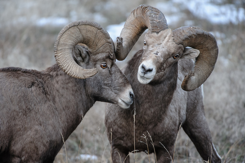 Two Bighorn Rams (Ovis canadensis) jostle for position during the Fall mating rut, Western Montana