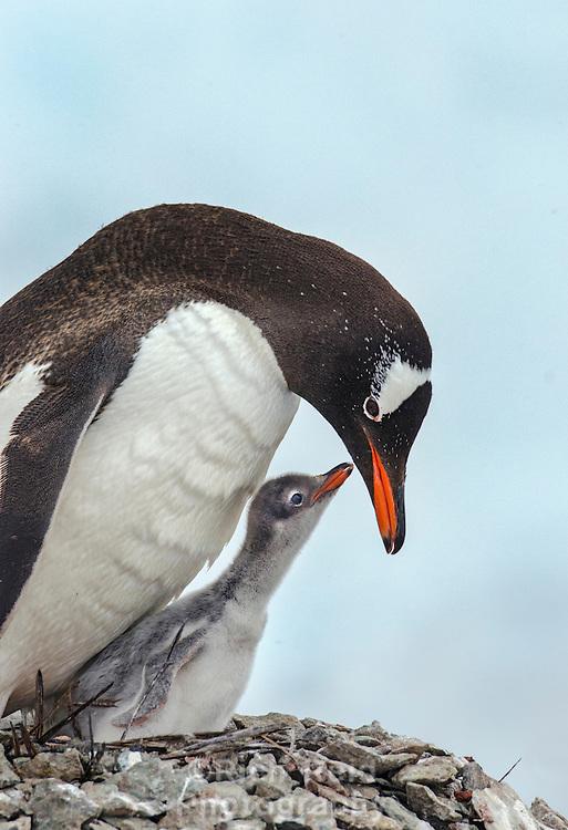 Gentoo penguin, Pygoscellis papua feeding a chick on Danco Island in Antarctica.