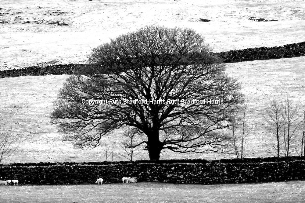 The bare branches of a mature beech tree form a perfect Winter silhouette in the Yorkshire Dales. Dales sheep huddle in the protective shelter of a dry stone wall.<br /> <br /> Date taken: 30 April 2013.