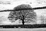 The bare branches of a mature beech tree form a perfect Winter silhouette in the Yorkshire Dales. Dales sheep huddle in the protective shelter of a dry stone wall.<br />