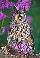 "Long-eared Owl (Asio otus) a 15"" slim owl; close-set ear tufts, rufous facial disk.  (captive)"