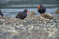 Black Oystercatcher (Haematopus bachmani), Brickyards Beach, Gabriola Island , British Columbia, Canada   Photo: Peter Llewellyn