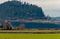 Snow Geese Chen caerulescens) fly in formation while wintering at Fir Island in the Skagit River Delta at Puget Sound in Washington state, USA.