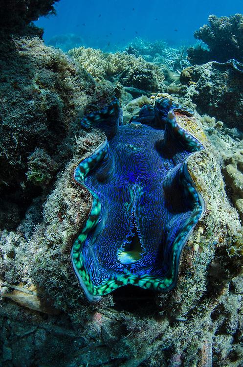 Smooth Giant Clam (Tridacna derasa)<br /> Fiji. South Pacific