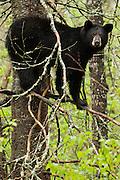 USA, Vince Shute Wildlife Sanctuary (MN).Black bear (Ursus americanus) on a tree