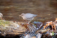 If you have ever been along streams in the western United States you might have seen a bird that like to walk into a stream and walk underwater that bird is the American Dipper it walks underwater holding on the rocks that are on the bottom looking for aquatic insects to eat.
