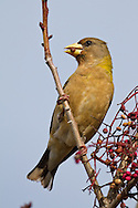 A female evening grosbeak busily munches on a chinese pistache nut