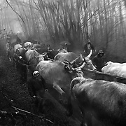 Italy, Basilicata- The oxen towing the beech tree form Pollino mountain to the village © 2012 Mama2