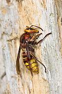 Hornet - Vespa crabro<br /> queen chewing wood for nest building