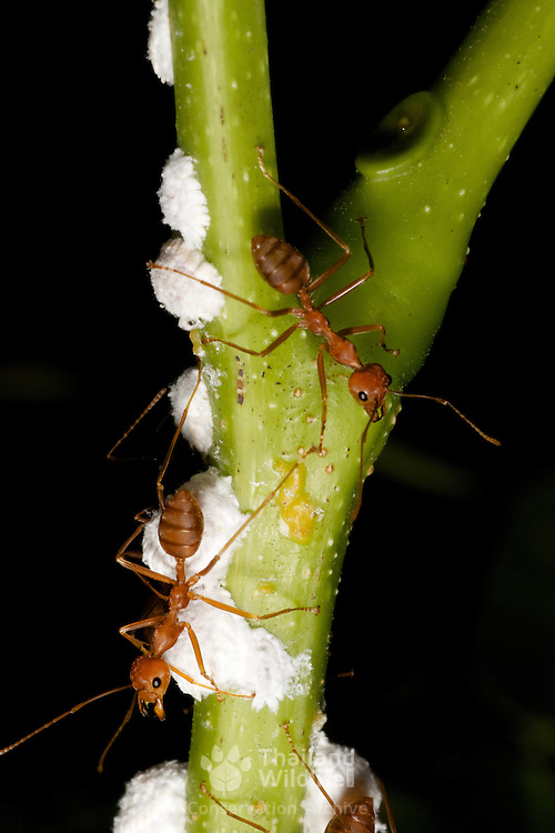 Red weaver ants, Oecophylla smaragdina, predating on insect larve.