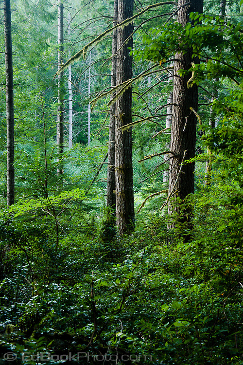 Forth Growth Douglas Fir (Pseudotsuga menziesii) forest in the Green Mountain State Forest on the Kitsap Peninsula of Washington, USA.