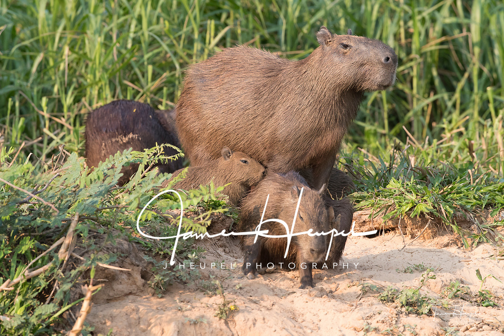 Capybara Parent with Young on River Bank