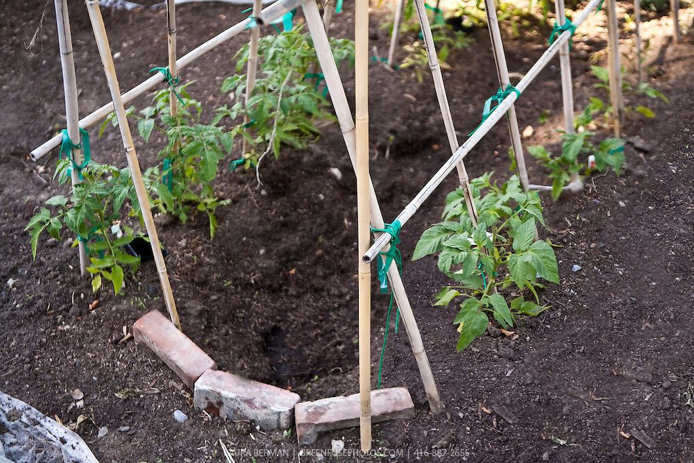 Bamboo stakes made in an A-frame trellis support for growing tomatoes.