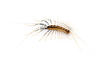 House Centipede (Scutigera coleoptrata)<br /> TEXAS: Bexar/Guadalupe County line<br /> rural property on Cibolo Creek<br /> 29.45749&deg; -98.12862&deg;<br /> 20-Oct-2012<br /> J.C. Abbott #2628 &amp; K.K. Abbott