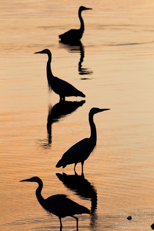 Four great blue herons (Ardea herodias), rendered in silhouette at sunrise, fish in the Hood Canal near Seabeck, Washington.