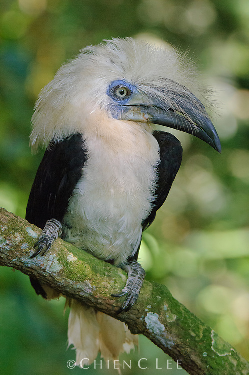 A male White-crowned Hornbill (Berenicornis comatus).  Unlike many other of the larger Bornean hornbills, this species spends much of its time in the middle and lower forest storeys.