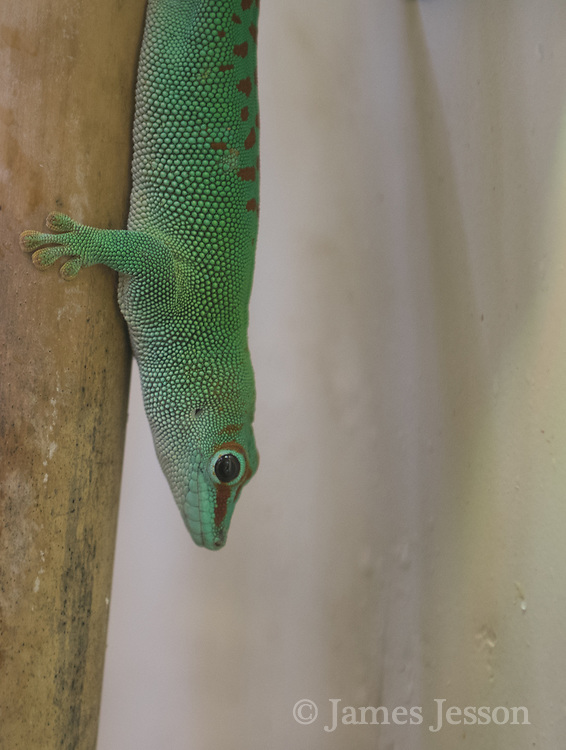 green gecko photograph