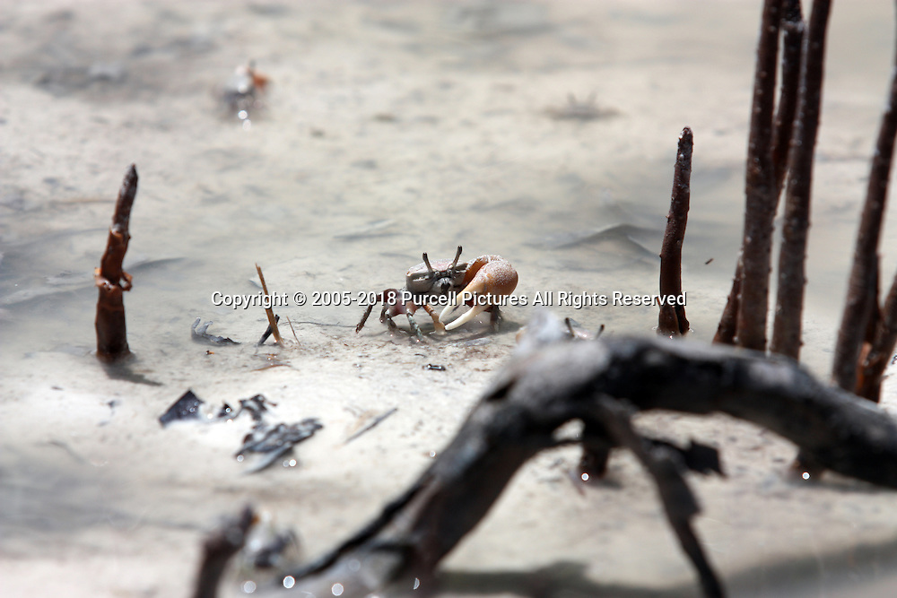 Fiddler crab running through mud in Florida Keys
