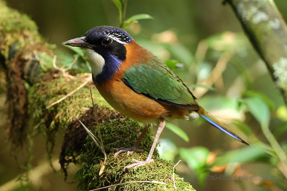 Pitta-like Ground Roller, Atelornis pittoides, Madagascar, by Markus Lilje