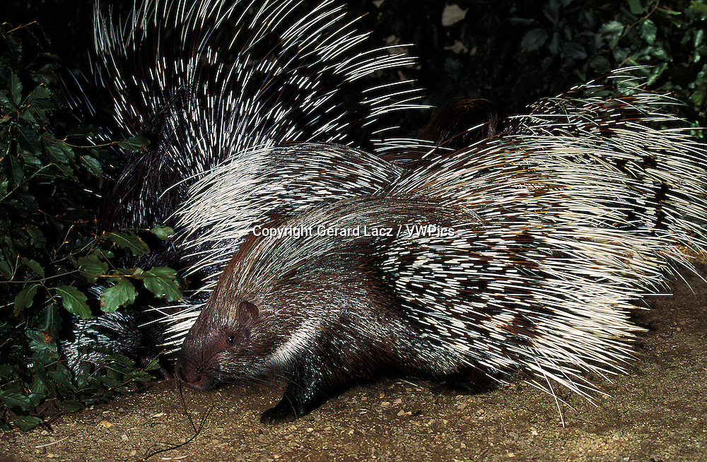 Crested Porcupine, hystrix cristata, Adults