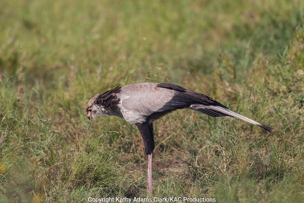 Secretary bird, Sagittarius serpentarius, Feeding on a snake, Serengeti, Tanzania, Africa.