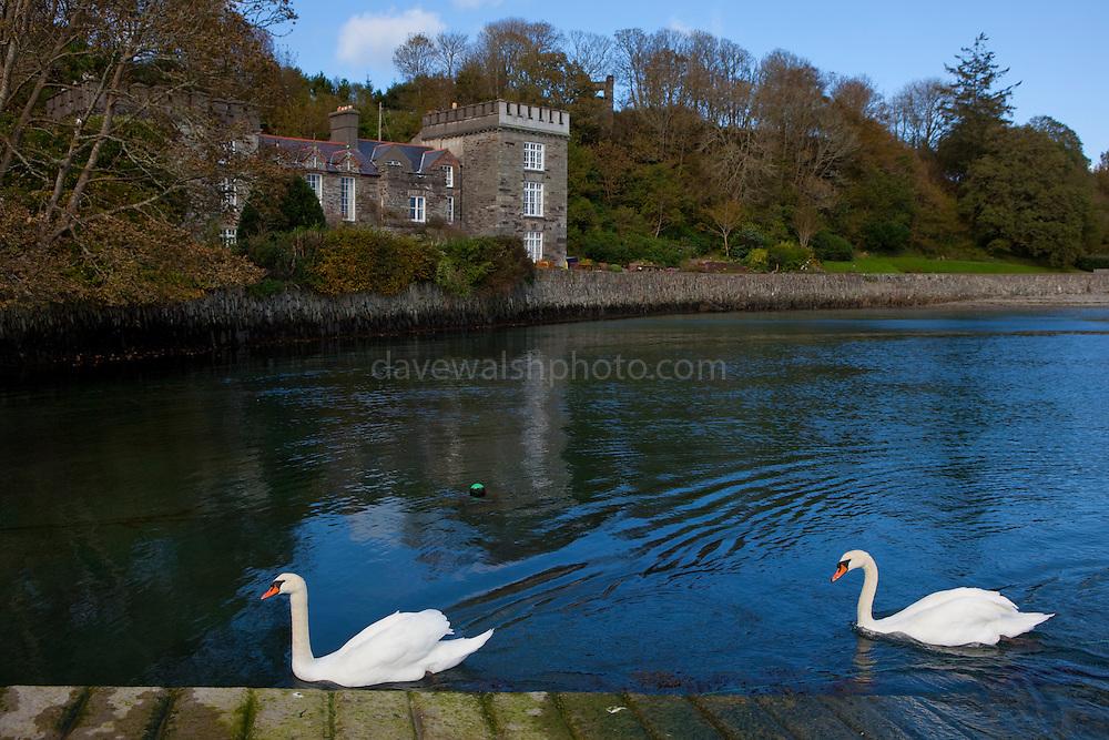 Pair of mute swans, Cygnus olor,  Castletownshend, Co. Cork, Ireland