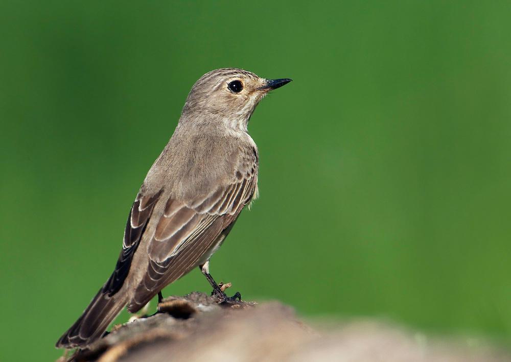 Spotted Flycatcher (Muscicapa striata) Pusztaszer Nature Reserve, Hungary