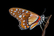 Butterfly<br /> Odzala - Kokoua National Park<br /> Republic of Congo (Congo - Brazzaville)<br /> AFRICA