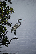 This is a photograph of a silhouette of a Great White Heron taken at Delnor Wiggins State Park, in Naples, Florida.