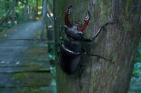 Male Stag beetle (Lucanus cervus) in Codri National park