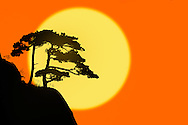 Tree silhouetted at sunrise, Yellow Mountain, Huangshan, China