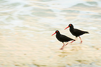 African Black Oystercatcher pair running along the shoreline. De Hoop Marine Protected Area. Western Cape. South Africa.