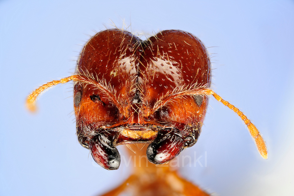 "[Digital focus stacking] Solenopsis geminata is one of several species that are known as ?fire ants?. The original distribution of these species is the (sub)tropical part of the New World but with the help of humans they have been introduced to almost all tropical regions of the world. .Solenopsis geminata feeds on almost anything. Their diet includes seeds which they gather and store in their nests. Workers of Solenopsis geminata are of various sizes ranging from 3-5 mm. The picture shows the head of a major worker with its massive mandibles. These mandibles are used to open seeds..Fire ants are famous for their potent sting. The sting can produce an immediate, intense pain followed by red swelling. In Brazil fire ants are locally known as ?Formiga-lava-pé? which roughly translates into ?Wash-your-feet-ant?. The description is spot on. You will understand if you find yourself standing on or near a nest of these ants.  Picture was taken in cooperation with the ""Staatl. Museum für Naturkunde Karlsruhe""."