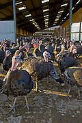 Free-range Norfolk bronze turkeys roam freely at Sheepdrove Organic Farm , Lambourn, England