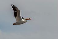 A white pelican sails over Lake Pueblo State Park near Pueblo, Colorado.