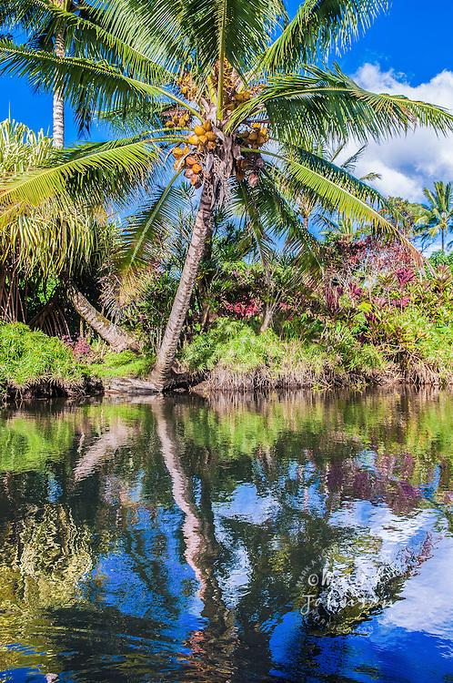 Coconut palm tree reflected in stream, Hanalei, Kauai, Hawaii