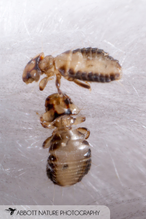 Laemobothriid Louse (Laemobothrion sp.)<br /> from Crested Caracara (Caracara cheriway)