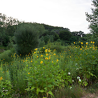 The native perennial Cup plant growing in a native landscape.