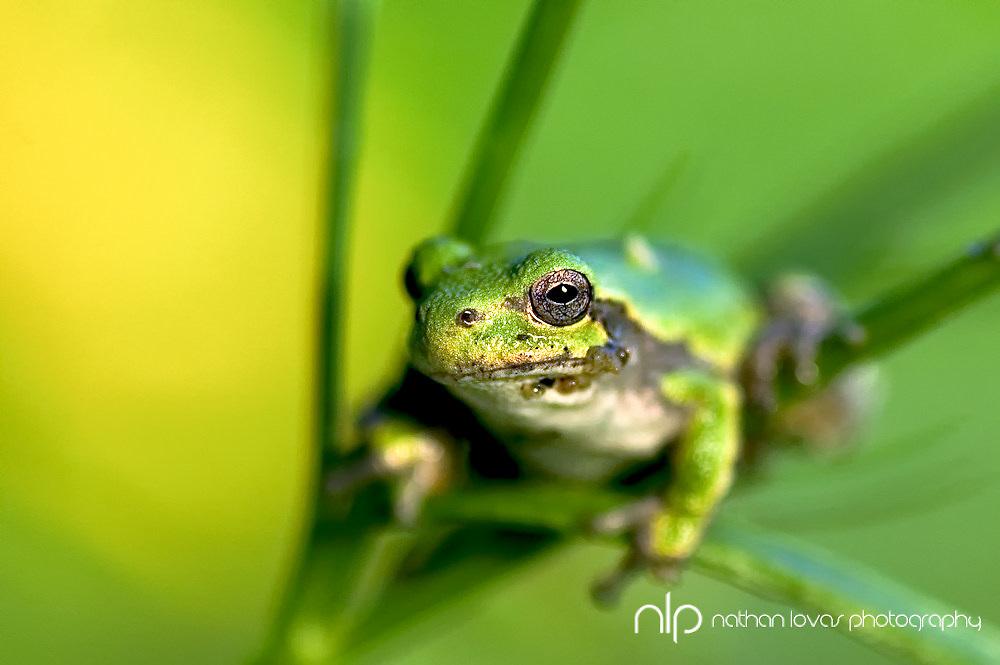 Green Tree Frog Sitting on flower stem;  Minnesota in wild.