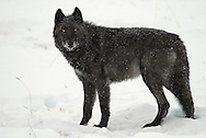 Rulers of the Lamar Valley of Yellowstone for over ten years, the Druid Peak Pack eventually succumbed to mange and constant battles with other wolf packs in the Park.  The last member of the Druids, was killed near Butte, Montana in 2010.