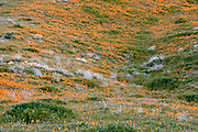 California poppies blanket an undulating hillside at the Antelope Valley California Poppy Reserve, California, USA